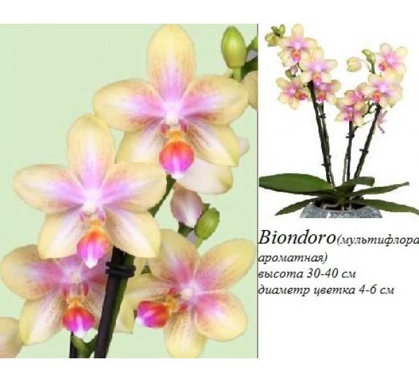 фаленопсис biondoro фото