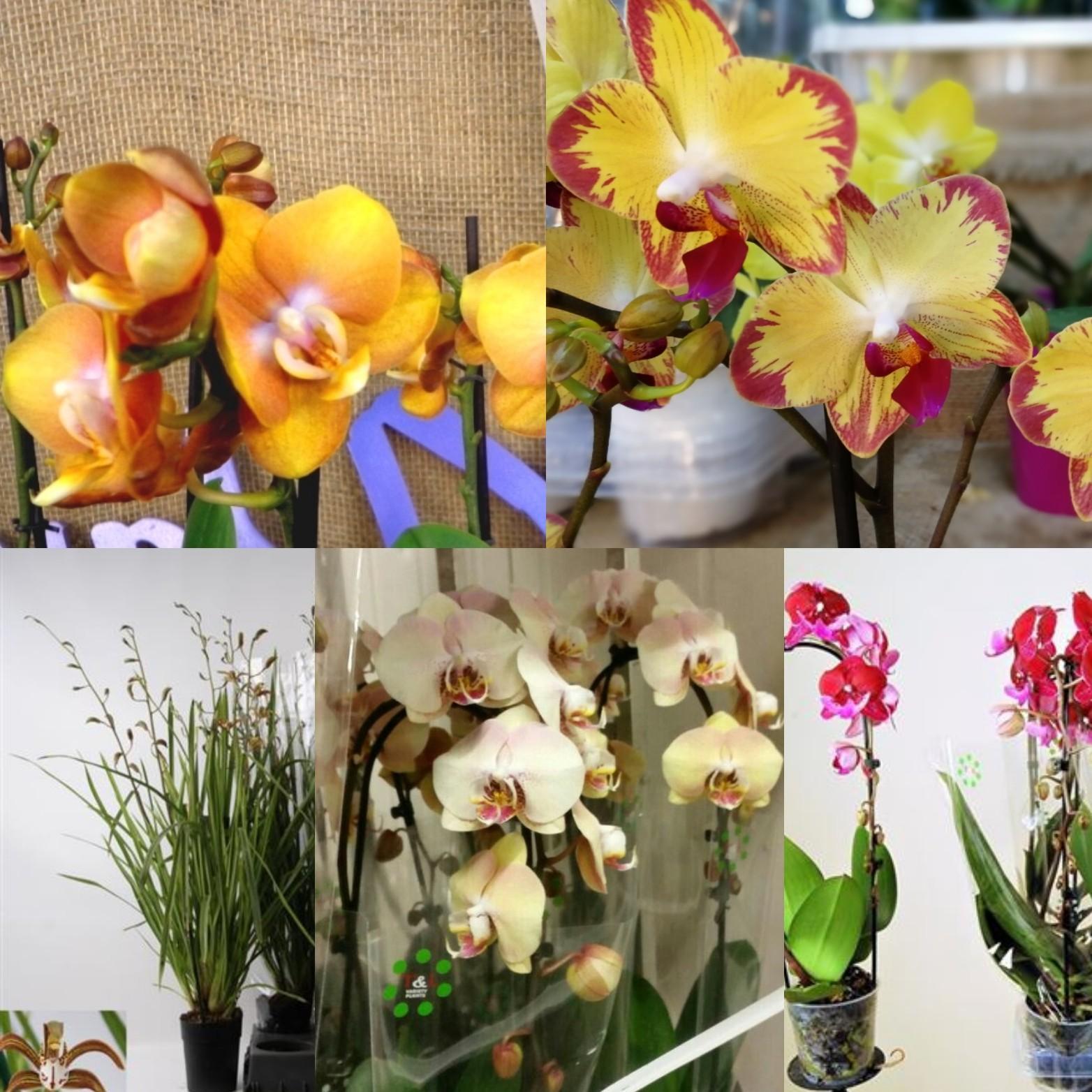 Новогодняя поставка орхидей уже не за горами.